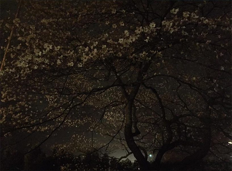 photo of a dogwood tree blooming on a foggy spring evening